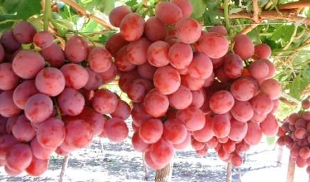 9 Manfaat Anggur Untuk Mengobati Berbagai Penyakit