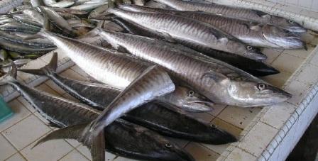 Manfaat Ikan Tenggiri Untuk Kesehatan