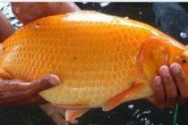 Manfaat Ikan Mas Yang Mungkin Belum Anda Tahu